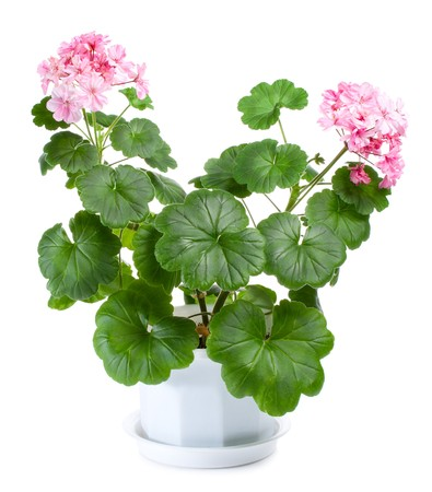 blossoming geranium in pot, isolated on white Stock Photo