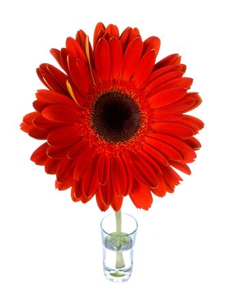 red gerbera in glass with water, isolated on white photo