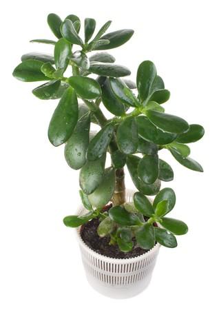 crassula: potted crassula or dollar tree, isolated on white Stock Photo