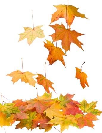 the dry leaves: close-up ca�do hojas de arce, aisladas en blanco Foto de archivo