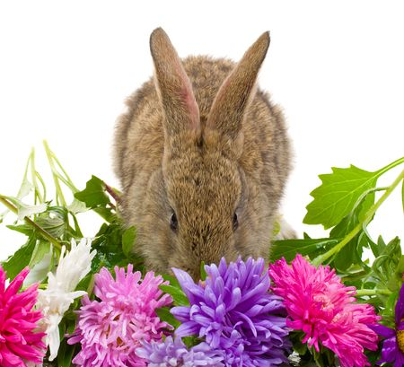 close-up small bunny and aster flowers, isolated on white Stock Photo - 4616697