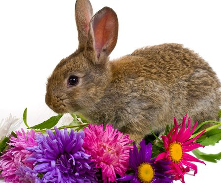 close-up small bunny and aster flowers, isolated on white Stock Photo - 4616717