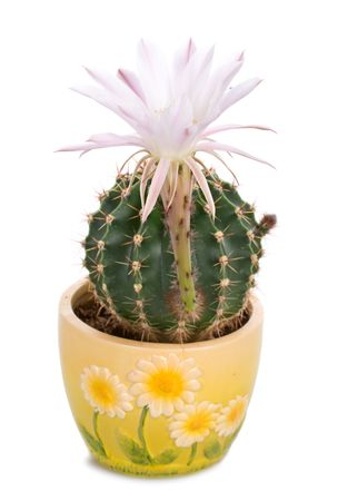 blossoming cactus with white flower, isolated photo