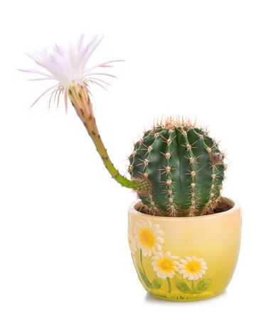 blossoming cactus with white flower, isolated