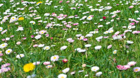 daisies meadow on green grass background photo