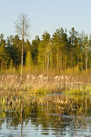 rushy: rushy swamp in forest, spring time