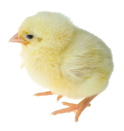 poultry animals: single small yellow chick, isolated on white