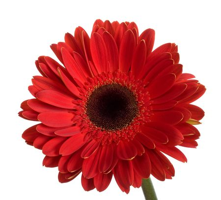 beautiful big red gerbera flower, isolated on white Stock Photo - 5085100