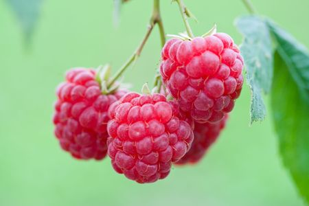 branch of ripe raspberries on green grass background photo