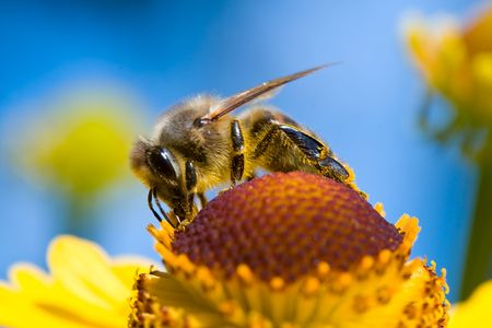 close-up a small bee collect nectar on blue sky background photo