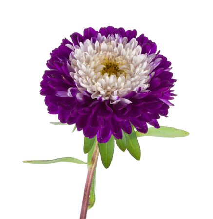 single violet-white aster isolated