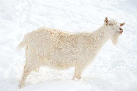 close-up white goat walking on snow photo