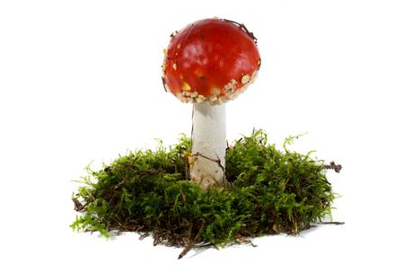 fly agaric in moss, isolated on white photo
