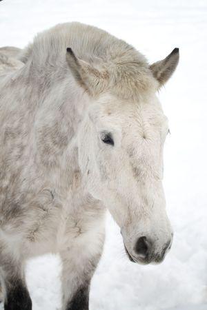 close-up dappled horse   photo