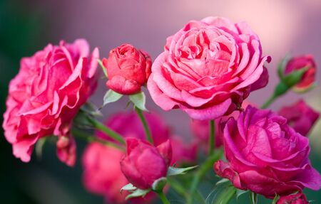 close-up pink roses on green grass background