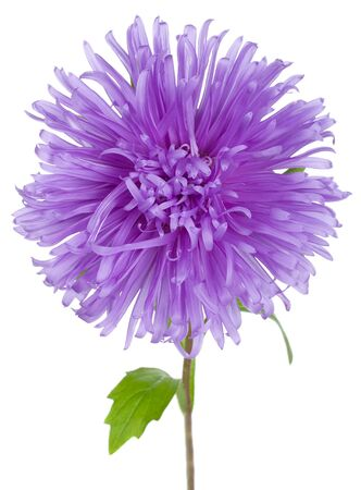 violet aster flower, isolated on white