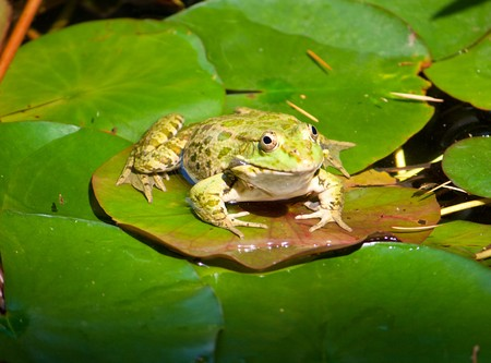 big frog on water-lily leaf Stock Photo - 7236924