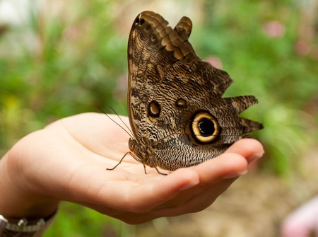 caligo memnon butterfly sitting on woman hand photo