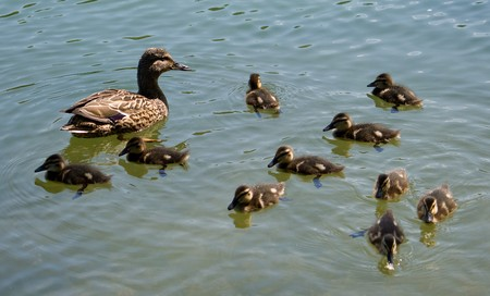 duck with ducklings swimming on lake Stock Photo - 7311236