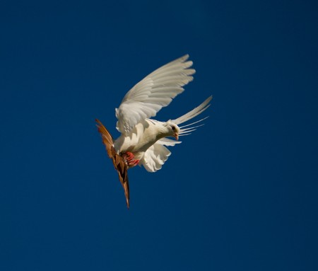 white dove fly in the blue sky photo