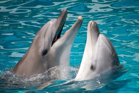 pair of dolphins, swimming in water Stock Photo