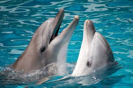 paire de dauphins, nage en eau  Banque d'images
