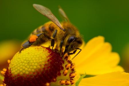 bee garden: Close-up una abeja peque�a recolectar n�ctar de la flor amarilla  Foto de archivo