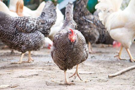 speckled hen on henyard Stock Photo - 7712576