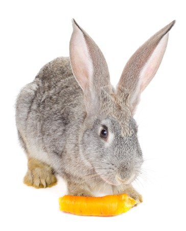 close-up gray rabbit eating the carrot, isolated on white photo