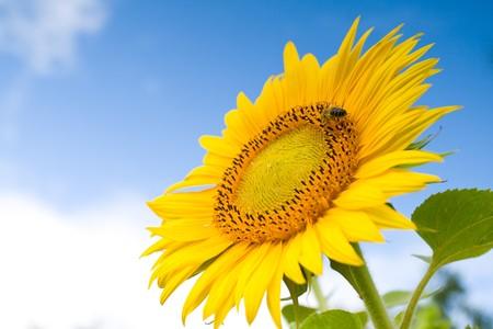 abeja: girasol contra un cielo azul