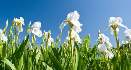white irises against a blue sky photo