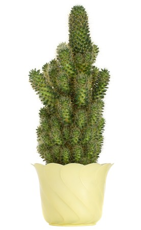 cactus in pot, isolated on white photo