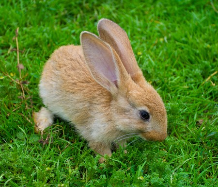 little brown bunny on green grass Stock Photo - 7796823