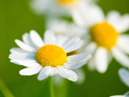 chamomile selective focus on meadow