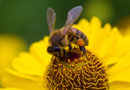 close-up small bee collect nectar on yellow flower
