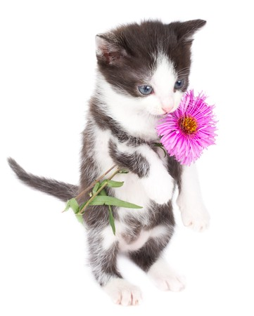 kitten stand and hold flowers, isolated on white Stock Photo