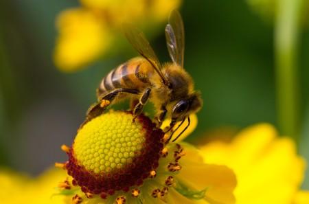 Close-up bee verzamelen van nectar op gele bloem