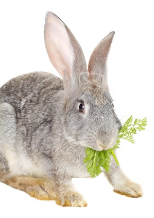 close-up rabbit eating carrot leaf, isolated on white Stock Photo - 8070869