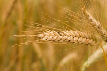 close-up ripe ear of wheat, selective focus photo
