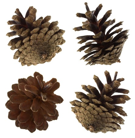 close-up pine cones set, isolated on white photo