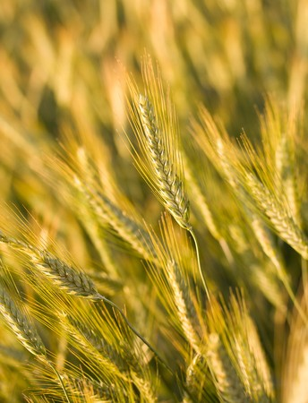 close-up ripe wheat in field, selective focus photo