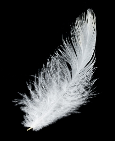feather pen: close-up white feather, isolated on black