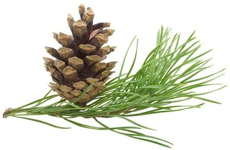 branche pin: branche de pin rapproch�e avec c�ne, isol� sur fond blanc