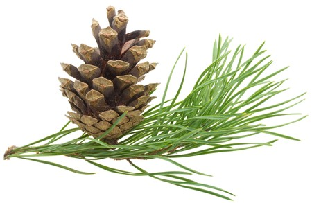 close-up pine branch with cone, isolated on white Standard-Bild