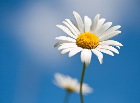 camomiles: chamomile on blue sky background, selective focus Stock Photo