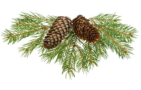 close-up fir tree branches with cones, isolated on white photo