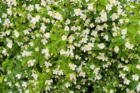 jasmine bush: jasmine bush background