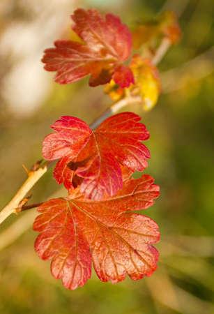gooseberry bush: red leaves of gooseberry bush, selective focus