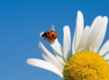 ladybird on chamomile petal photo