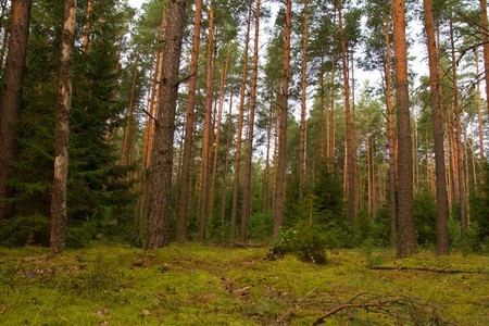 dense pine forest in summer Stock Photo